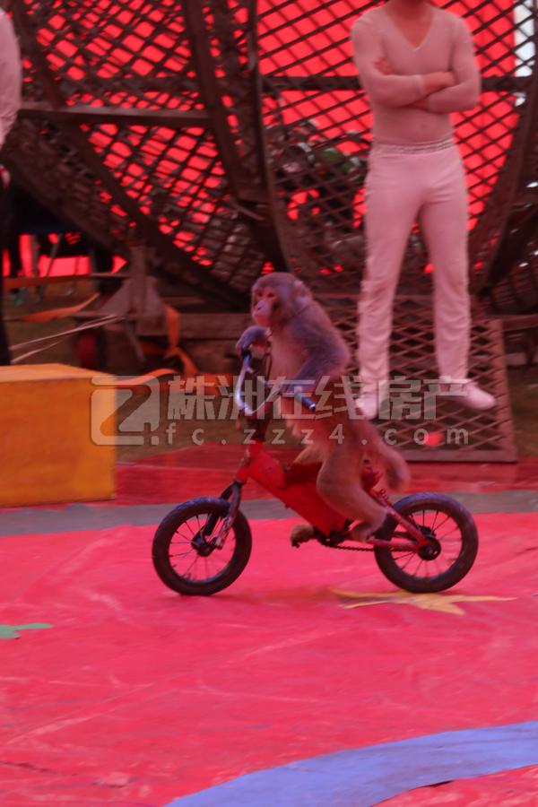 动物明星们登场带来一连串精彩表演   一系列精彩动物表演之后,杂技演员上场。惊险刺激的死亡飞轮,演员们在高空旋转的飞轮上不时上演行走、跳绳等超高难度动作,观众们看得目不转睛的同时也为他们捏着一把汗,表演结束时,现场爆发了热烈掌声。冰上杂技、柔术表演、空中吊环、空中飞人、环球飞车.